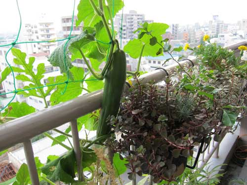 Cucumbers In The Balcony